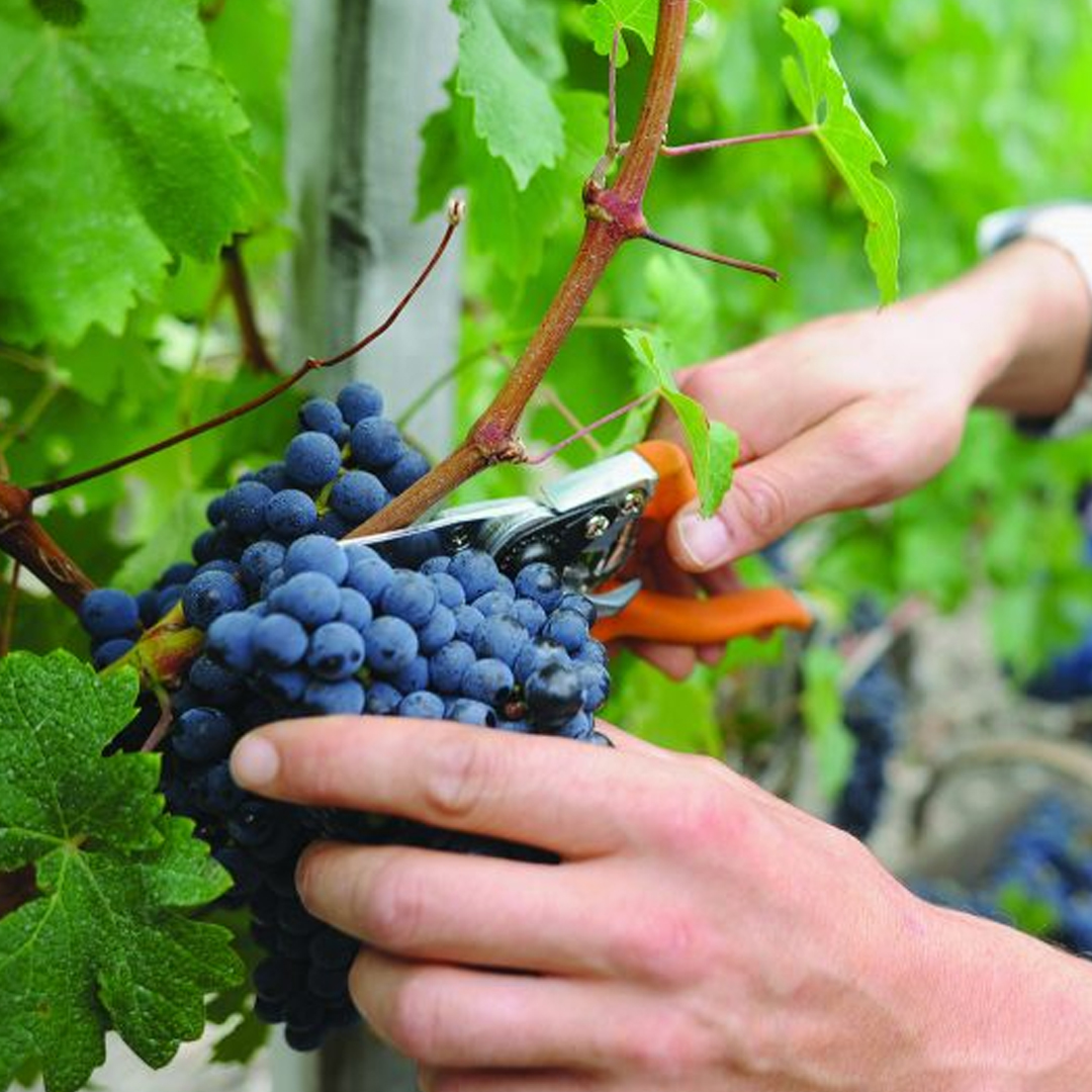 Insider Secrets: Fun Fall Facts About Wine – 10 Facts About Wine Grape Harvest