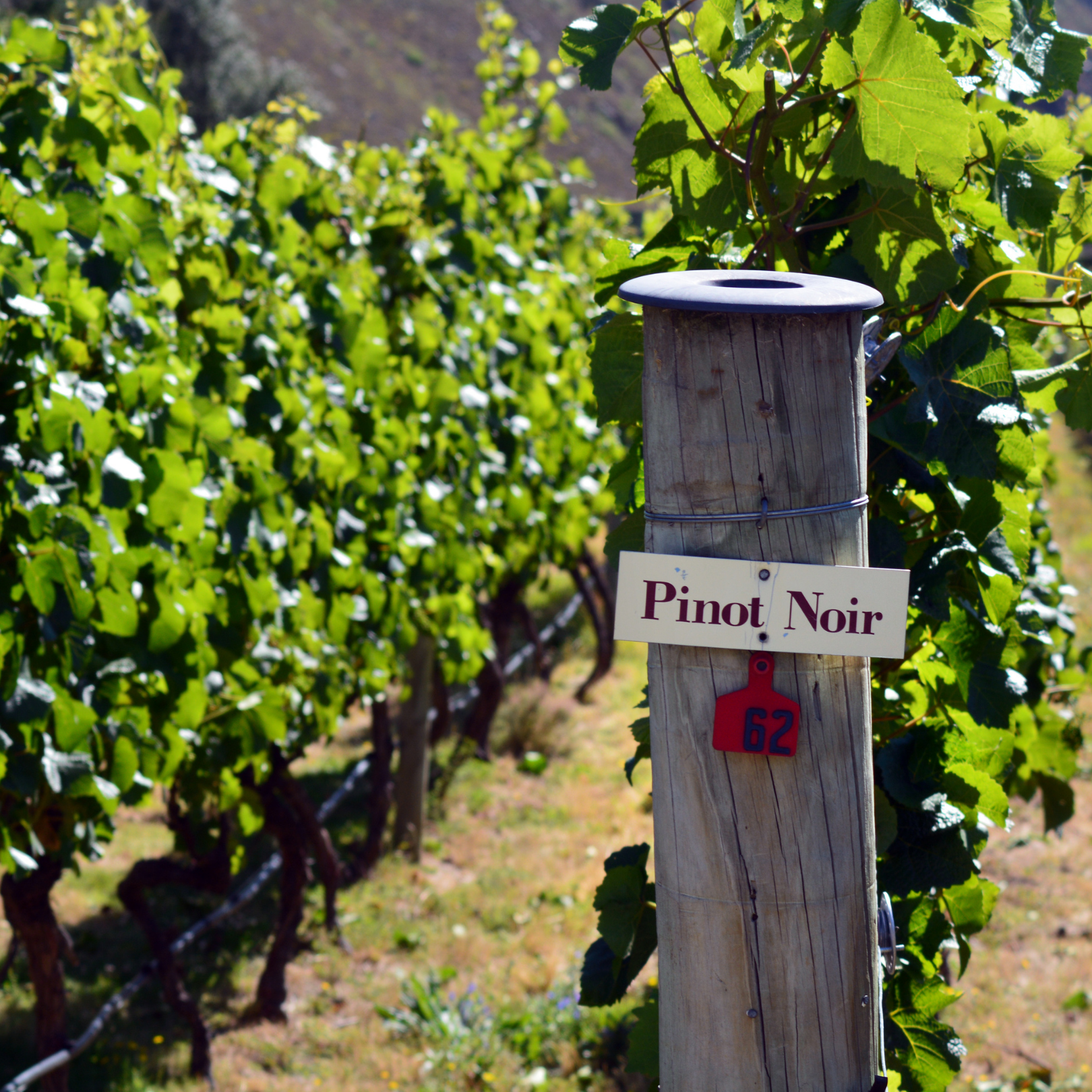 The World's Love Affair with Pinot Noir: Everything You Should Know.
